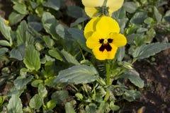 Gelbes Stiefmütterchen (Viola wittrockiana) Stockbilder