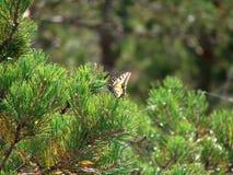 Gelbes Swallowtail Stockfoto
