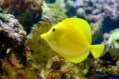 Gelbes Tang Lizenzfreies Stockfoto