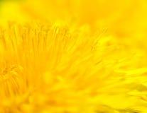 Gelbes Taraxacum officinale - Hintergrund Stockfoto