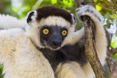 Gelbes tiefes Anstarren mustert auf einem weißen Maki in Madagaskar Lizenzfreies Stockbild