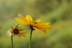 Gelbes topinambur zwei Lizenzfreie Stockfotos