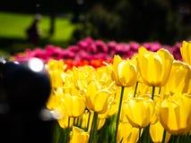 Gelbes Tulpenblühen Schönheitsnaturhintergrund Lizenzfreies Stockbild