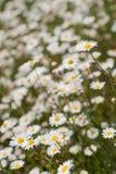 Gelbes u. weißes wildes Gänseblümchen blüht in der Wiese oder im Garten mit flacher Schärfentiefe lizenzfreie stockbilder