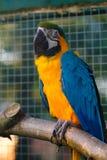 Gelbes und blaues Keilschwanzsittich-Aronstäbe chloropterus an der Natur Stockfotografie