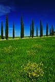 Gelbes und grünes Blumenfeld mit klarem dunkelblauem Himmel, Toskana, Italien Gelbe Wiese mit Blume Gelbe Blüte mit Zypressenbaum Lizenzfreies Stockfoto