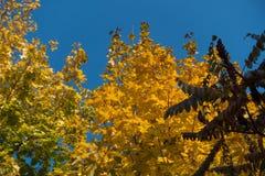 Gelbes und grünes leafage des Ahorns und der roten Blätter des Essigbaums im Herbst Lizenzfreies Stockfoto