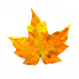 Gelbes und orange Ahornblatt lokalisiert auf Weiß Lizenzfreies Stockfoto