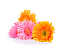Gelbes und rosa Gerbera-, Transvaal-Gänseblümchen oder Barberton-Gänseblümchen flo stockfoto