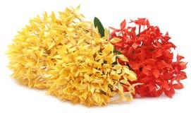 Gelbes und rotes ixora Stockbilder
