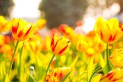 Gelbes und rotes Tulpenblumenfeld stockbilder