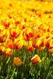 Gelbes und rotes Tulpenfeld Stockbilder