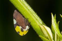Gelbes und schwarzes Treehopper Stockfotos