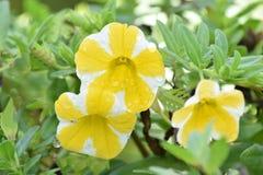 Gelbes und weißes Petunienblumenwachsen Stockbilder