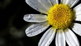 Gelbes und weißes Gänseblümchen mit Wassertröpfchen stockfotografie