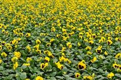 Gelbes violettes Feld Stockbild