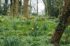 Gelbes Wachsen der wilden Blumen der Narzisse wild Lizenzfreie Stockfotos