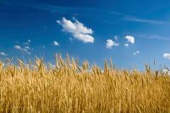 Gelbes Weizenfeld mit blauem Himmel Lizenzfreies Stockfoto