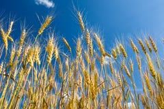 Gelbes Weizenfeld mit blauem Himmel Stockfotos
