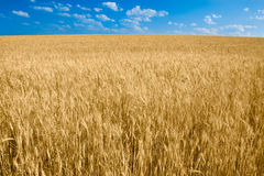 Gelbes Weizenfeld mit blauem Himmel Lizenzfreie Stockfotos