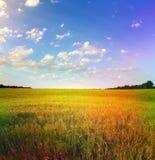 Gelbes Weizenfeld und blauer Himmel Stockfotos