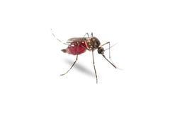 Gelbfiebermoskito Aedes aegypti Stockbild