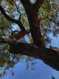 Gelbgrün-Afrikanerblume Lizenzfreie Stockfotos