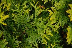 Gelbgrün Arborvitae Stockbilder
