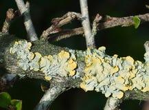 Gelbgrün - blaue Flechte auf einem baranch Stockfotografie