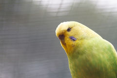 Gelbgrüne gewellte Papageiennahaufnahme auf Natur Stockfoto