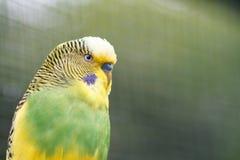 Gelbgrüne gewellte Papageiennahaufnahme auf Natur Lizenzfreies Stockfoto