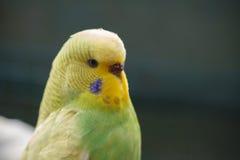 Gelbgrüner gewellter Papagei auf einem dunkelgrünen natürlichen Hintergrund Stockfotografie