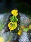 Gelbgrünerlenblätter im reißender Fluss Detail des faulen Erlenblattes stockfotos