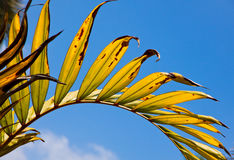 Gelbgrünes Palmblatt mit Radialadern Stockfotografie