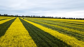 Gelbgrünes Rapssamenfeldluftbildfotografie mit Brummen lizenzfreies stockbild