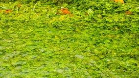 Gelbliche Baumblätter eines Laubbaumes, der auf einen Teich schwimmt stock video