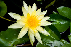 Gelbliche Lotosblume Lizenzfreies Stockfoto