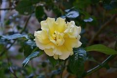 Gelbliche Rose Lizenzfreie Stockbilder