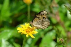 Gelbliches Braun Schmetterling mit schwarzen Flecken nippt an Nektar von einer kleinen gelben Blume in Krabi, Thailand Lizenzfreie Stockbilder