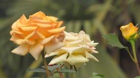 Gelbrose blüht schöne weiße Blume der Hintergrundgartenarbeit stockbilder