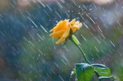 Gelbrose im Sommerregen stockfotografie