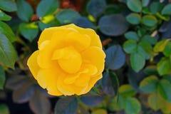 Gelbrosenblume bei Inez Grant Parker Memorial Rose Garden Lizenzfreies Stockbild