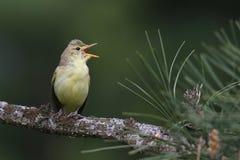 Gelbspötter führt eine Arie für Frühling durch Lizenzfreies Stockfoto