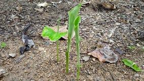 Gelbwurzanlage, die vom Boden nach Regenzeit herauskommt stockbild