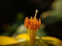 Geldbaum-Blumenstaubgefäß und Stempelmakro Lizenzfreie Stockbilder