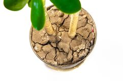 Geldbaum verlässt in der Nahaufnahme auf einem weißen Hintergrund stockfotografie