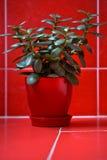 Geldboom (crassula) in rode bloempot op rode achtergrond Royalty-vrije Stock Foto