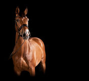 Gelding against black background. An elegant brown horse with bridle in studio against black background Stock Photo