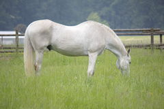Gelding Grazing. A white gelding grazes in the tall grass Stock Image