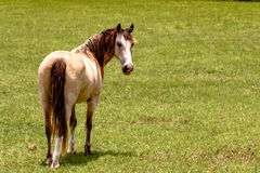 Gelding horse with blank area to the right. Gelding horse looking back over his shoulder with green grass background and blank area to the right Royalty Free Stock Photos